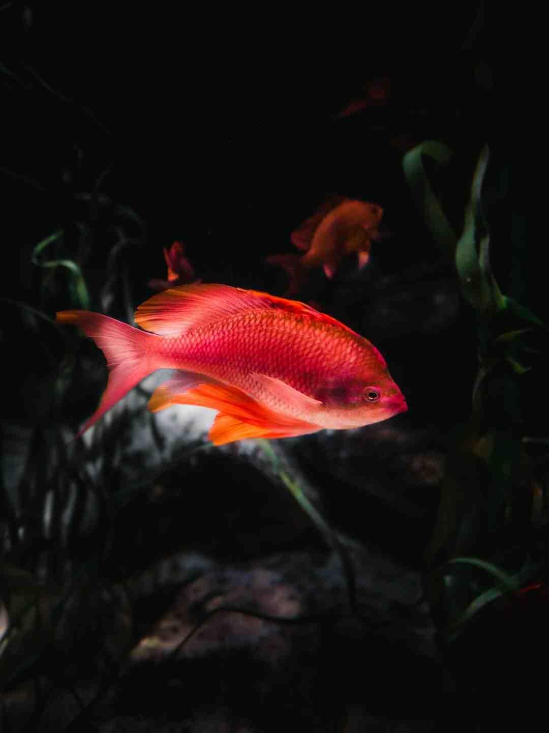 Comment dresser son poisson combattant