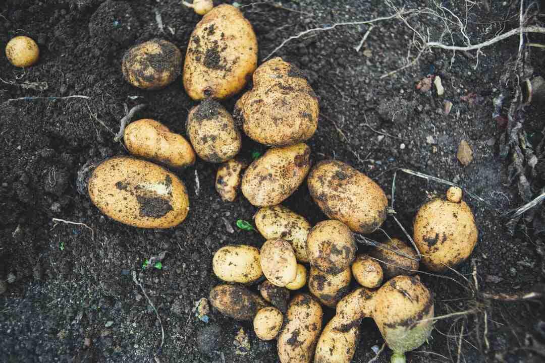 Comment planter les pommes de terre
