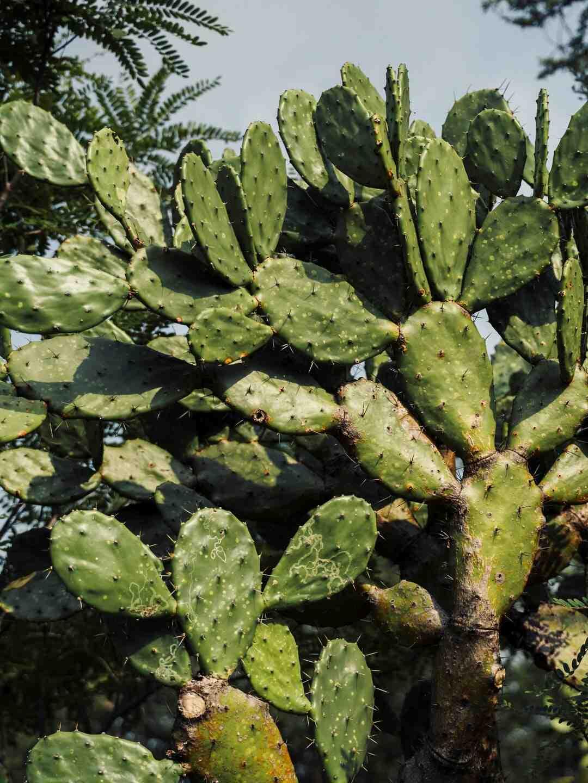 Comment manger des figues de Barbarie